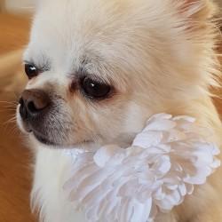 Elastische band met grote bloem voor de hond
