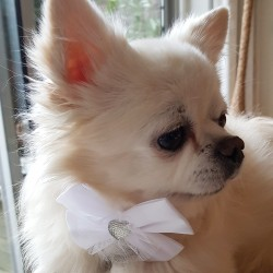 Honden strik van elastisch kant met witte strik met strass hart