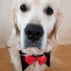 Luxe hondenstrik voor grote honden met zwart boord en rode strik